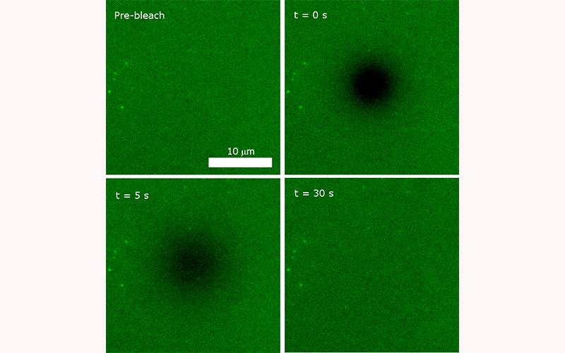 We make extensive use of fluorescence recovery after photobleaching (FRAP) to measure the diffusive properties of lipids and proteins in membranes.